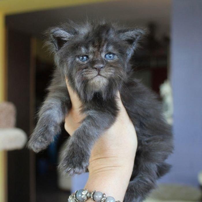"""Русский """"демонический"""" котенок с человеческим взглядом животные, кошки, мейн-кун, милота, питомник, россия"""