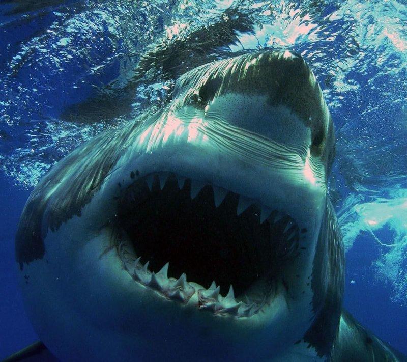 Акулы — грозные хищники морей и океанов акулы, море, океан