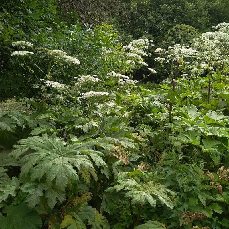 За борщевик на участке могут оштрафовать на один миллион рублей ПОДМОСКОВЬЕ, борщевик, ожоги, опасно, ядовитое растение