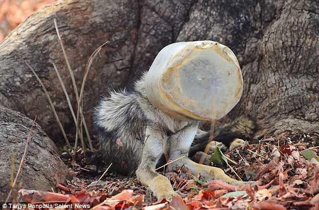 Волк с банкой на голове чудом был спасён ynews, волк, животные, индия, интересное, спасение, фото