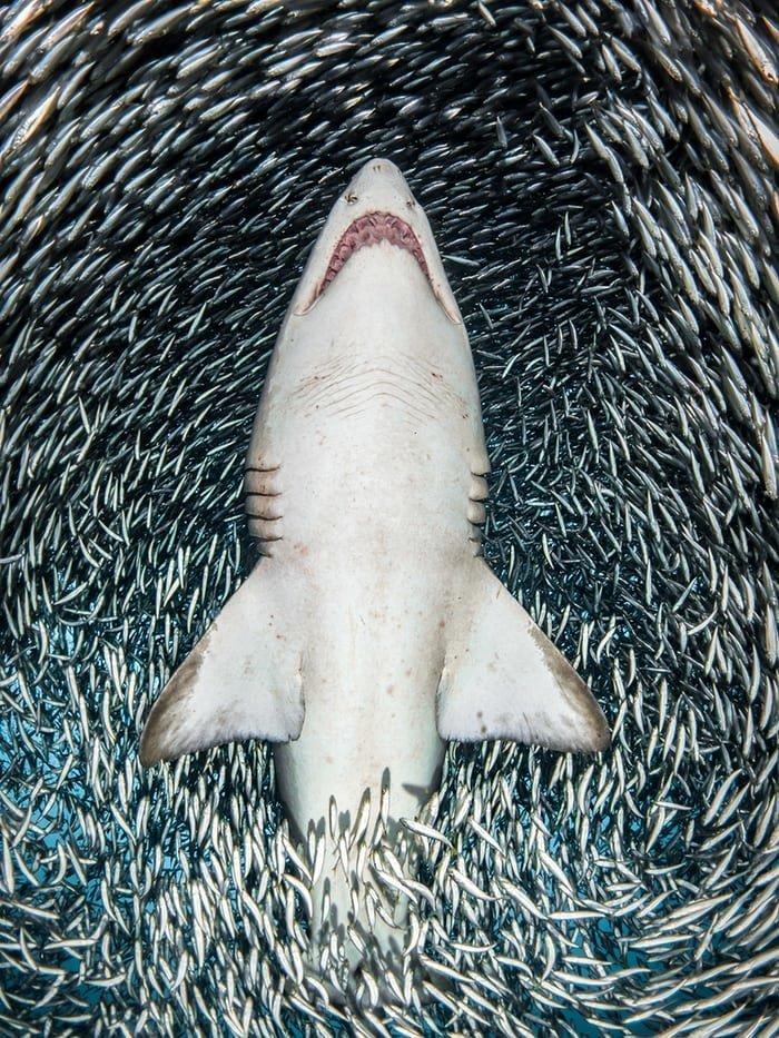 """""""Тигровая песчаная акула и тысячи мелких рыб"""", Таня Гупперманс конкурс, красиво, лучшее, подборка, подводные снимки, подводные фото, фото, фотографы"""