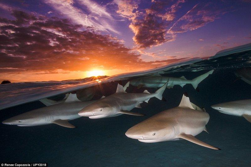 """""""Свидание чернопёрых акул"""", Рене Капоззола конкурс, красиво, лучшее, подборка, подводные снимки, подводные фото, фото, фотографы"""