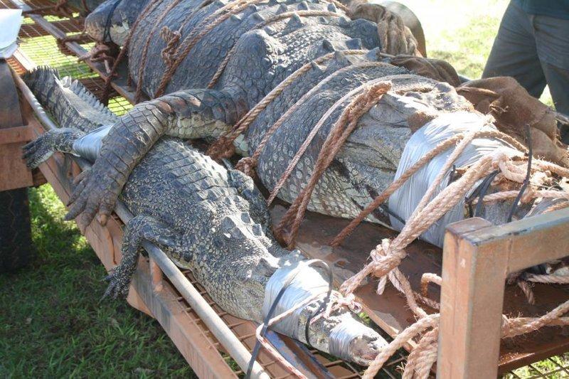 Крис Хейдон и Джон Берк десять лет охотились на гиганта Северная территория, австралия, животные, крокодил, охота, река, хищник