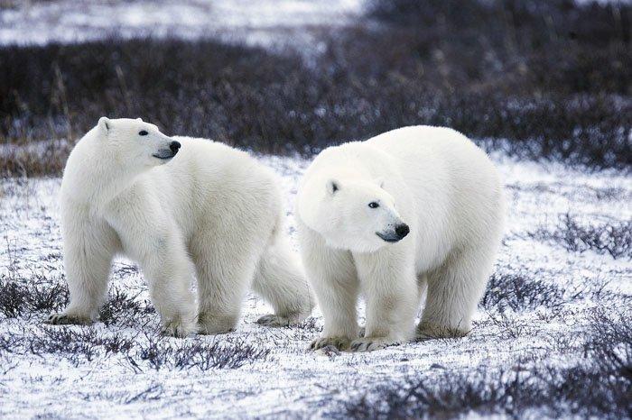 5. Цвет меха полярного медведя животные, животный мир, интересные факты, интересные факты для детей, познавательные факты, природа, факты о животных, хочу все знать