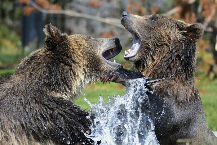 12. Гризли versus бурые медведи животные, животный мир, интересные факты, интересные факты для детей, познавательные факты, природа, факты о животных, хочу все знать