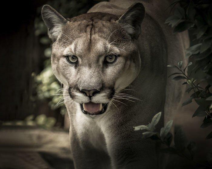 6. Мурлыкающие и ревущие кошки животные, животный мир, интересные факты, интересные факты для детей, познавательные факты, природа, факты о животных, хочу все знать