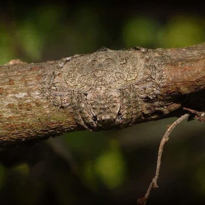 13. Если хотите предостеречь детей, чтобы они не лазали по деревьям, покажите им это. Паук Dolophones conifera - мастер маскировки. Он буквально обнимает деревья, сливаясь с их текстурой. в интернете, впечатляет, необъяснимое, неожиданно, подборка, редкие фото, странные фото, фото