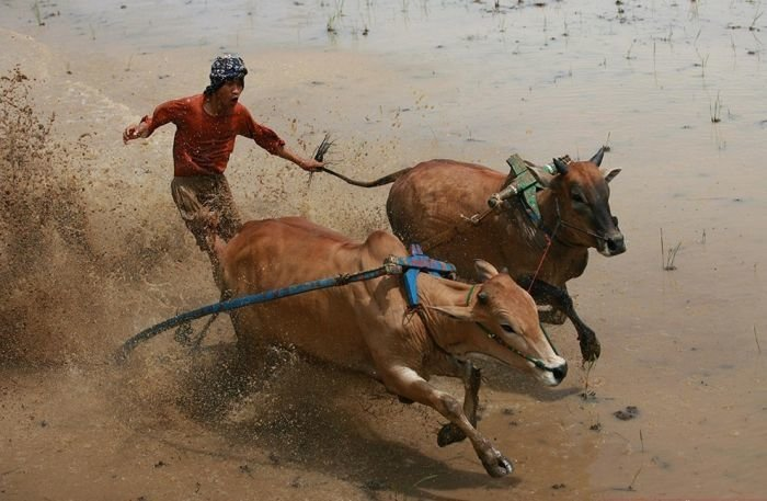 Фестиваль Паку Джави бык, гонки, животные, индонезия