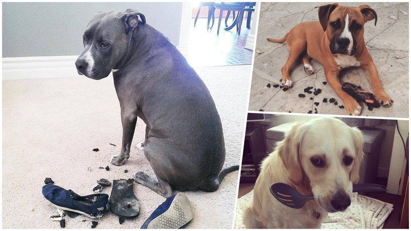 25 прелестных собак, которые очень сильно извиняются виноватые собаки, животные, собака раскаивается, собаки