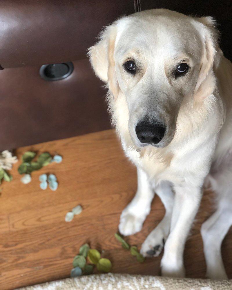 «Цветок? Какой цветок? Ах, этот… Я думал это салат» виноватые собаки, животные, собака раскаивается, собаки
