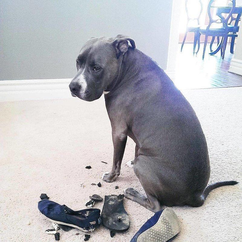 «Нет, это был не я» виноватые собаки, животные, собака раскаивается, собаки