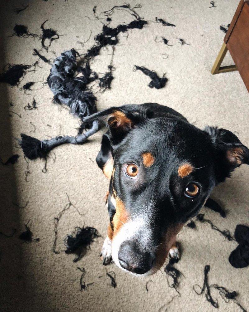 «Честное слово, оно само взорвалось!» виноватые собаки, животные, собака раскаивается, собаки