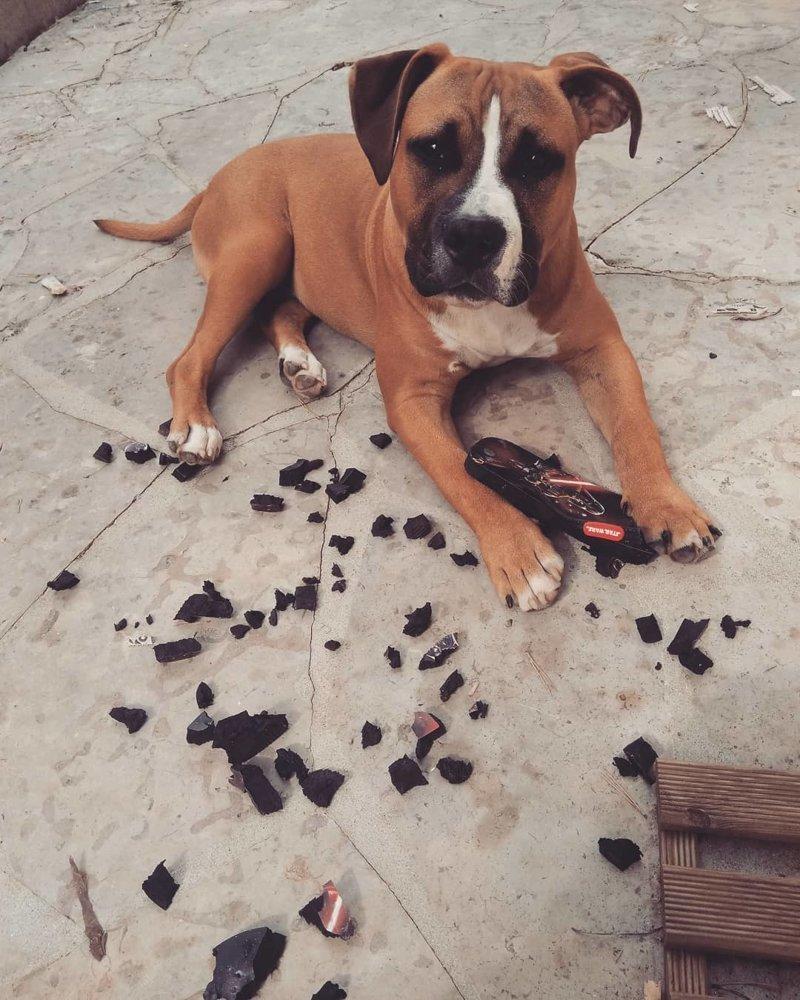 «Тебе никогда не шли эти сандали, вот я и решил их сгрызть» виноватые собаки, животные, собака раскаивается, собаки