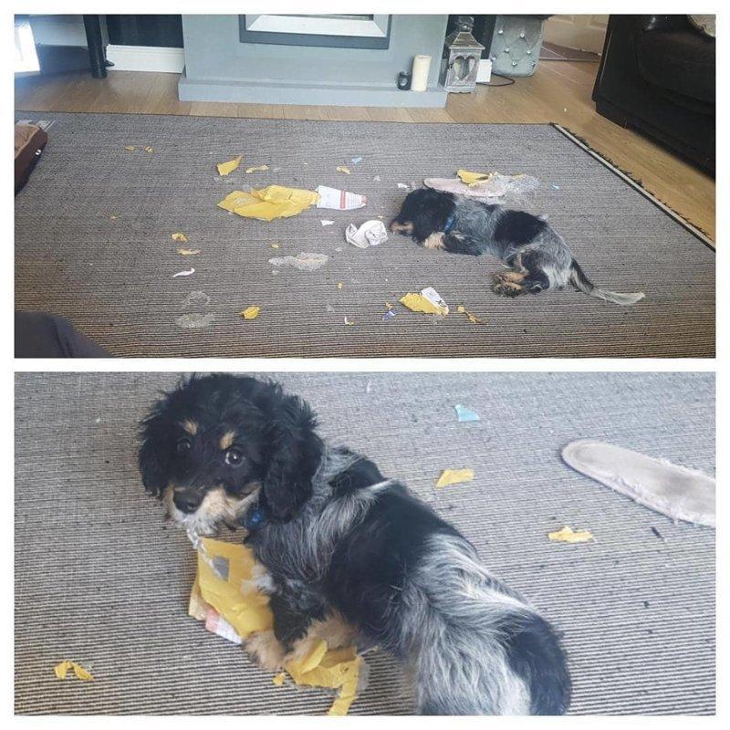 «В этом конверте не было ничего важного, я проверил» виноватые собаки, животные, собака раскаивается, собаки