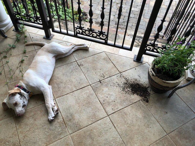 «Цветок первый начал» виноватые собаки, животные, собака раскаивается, собаки