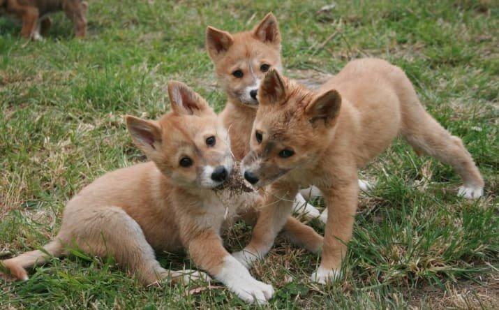 Вы не поверите, что эти милашки - хищники! Дикие собаки, австралия, динго, животные, мило, очаровательно, фотографии, щенки