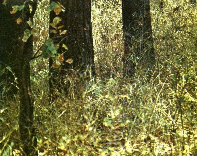 Найди тигра внимательность, интересное, найди на картинке, тест