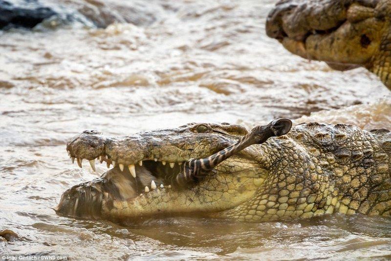 Через час от зебры не осталось и воспоминания африка, дикая природа, животные, крокодил, крокодилы, охота, хищник, хищники и жертвы