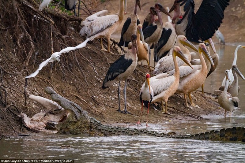 Такие дела африка, дикая природа, животные, крокодил, крокодилы, охота, хищник, хищники и жертвы