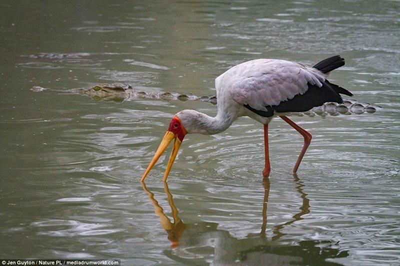 У реки собралась стайка птиц - аистов и пеликанов. К ним медленно и незаметно начали подплывать крокодилы африка, дикая природа, животные, крокодил, крокодилы, охота, хищник, хищники и жертвы