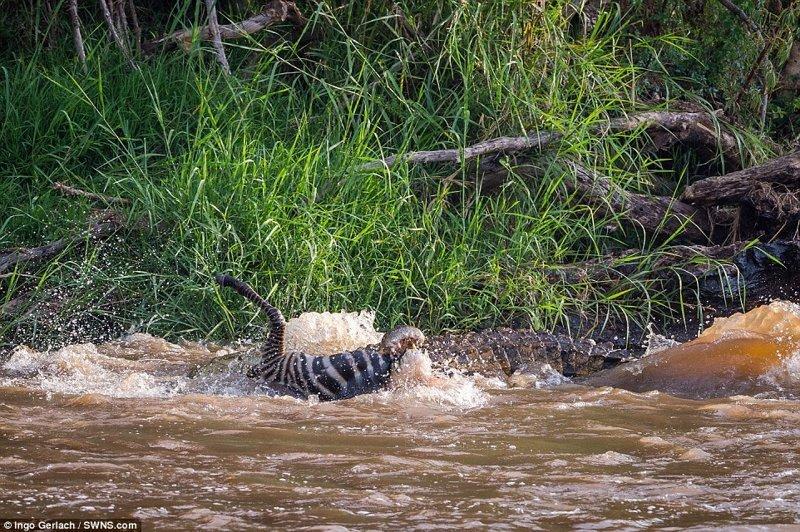 Казалось, все стадо успешно справилось с этой задачей, но потом фотограф заметил огромного крокодила, который схватил и утащил одного жеребенка под воду африка, дикая природа, животные, крокодил, крокодилы, охота, хищник, хищники и жертвы