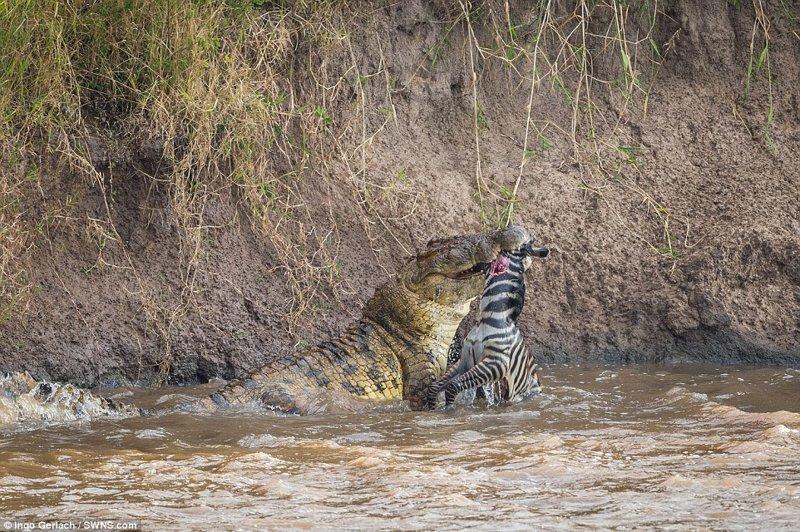 Он начал фотографировать, когда увидел переходящее реку стадо зебр африка, дикая природа, животные, крокодил, крокодилы, охота, хищник, хищники и жертвы