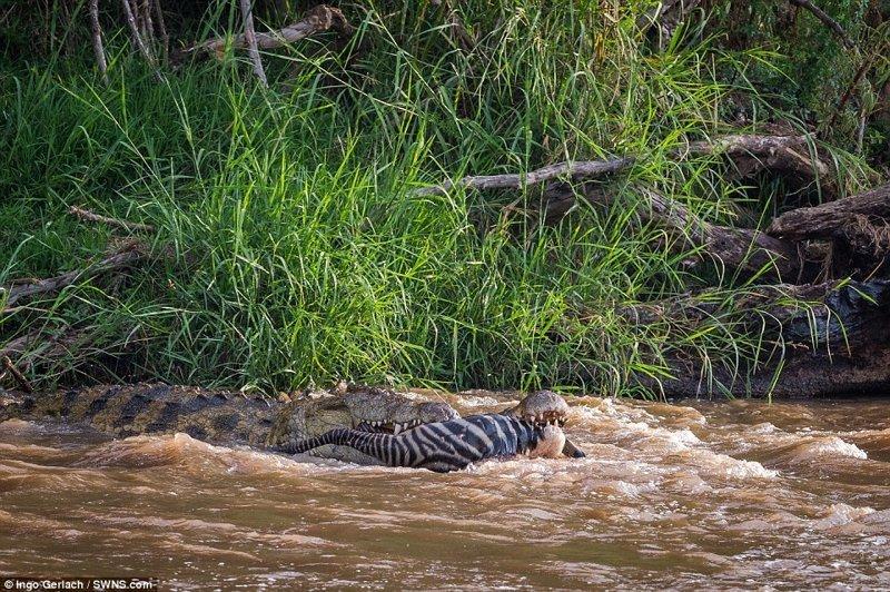 Хищник сомкнул челюсти и разорвал зебру на части африка, дикая природа, животные, крокодил, крокодилы, охота, хищник, хищники и жертвы