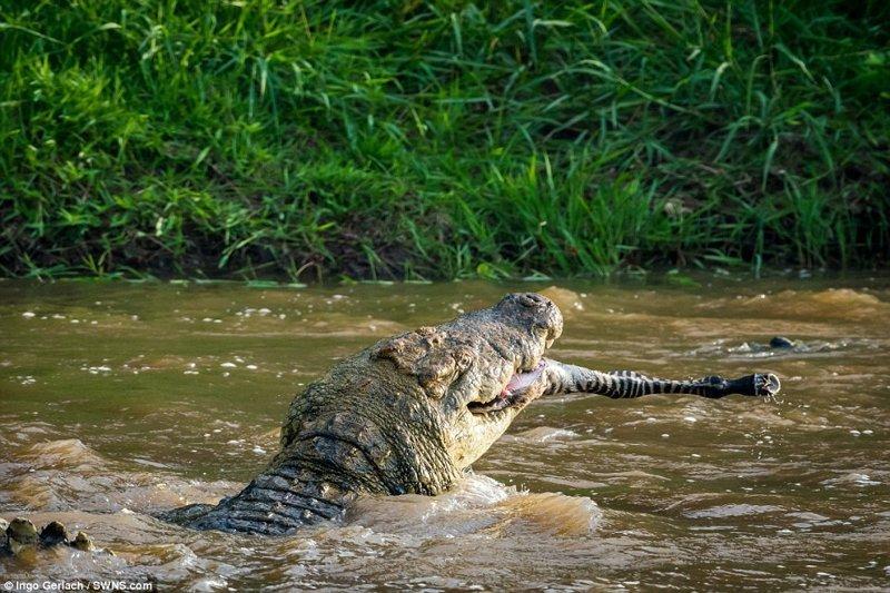 Вот уже одна нога торчит африка, дикая природа, животные, крокодил, крокодилы, охота, хищник, хищники и жертвы