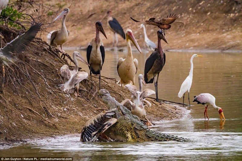 В засушливый сезон крокодилам удобно охотиться - добыча сама идет к ним прямо в зубы африка, дикая природа, животные, крокодил, крокодилы, охота, хищник, хищники и жертвы