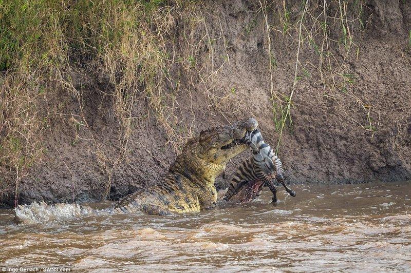 Фотограф дикой природы Инго Герлах сделал эту серию снимков на берегу реки Мара в Кении африка, дикая природа, животные, крокодил, крокодилы, охота, хищник, хищники и жертвы