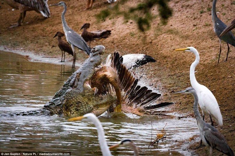 А эти фотографии охоты крокодила на птиц в национальном парке Горонгоза (Мозамбик) сделала фотограф Джен Гайтон африка, дикая природа, животные, крокодил, крокодилы, охота, хищник, хищники и жертвы