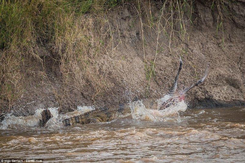 А потом начал методично ее пожирать африка, дикая природа, животные, крокодил, крокодилы, охота, хищник, хищники и жертвы
