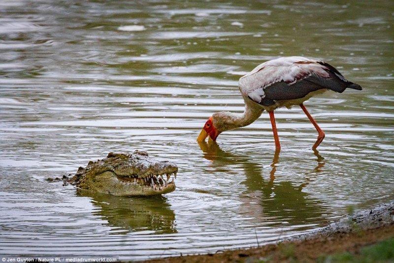 Ну привет! африка, дикая природа, животные, крокодил, крокодилы, охота, хищник, хищники и жертвы