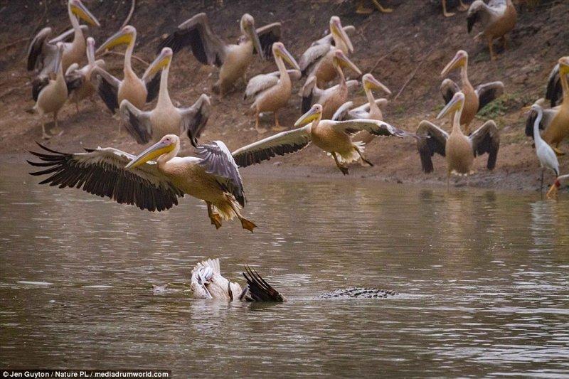 Внезапно крокодил вынырнул прямо посреди стаи пеликанов и утащил одного из них под воду африка, дикая природа, животные, крокодил, крокодилы, охота, хищник, хищники и жертвы