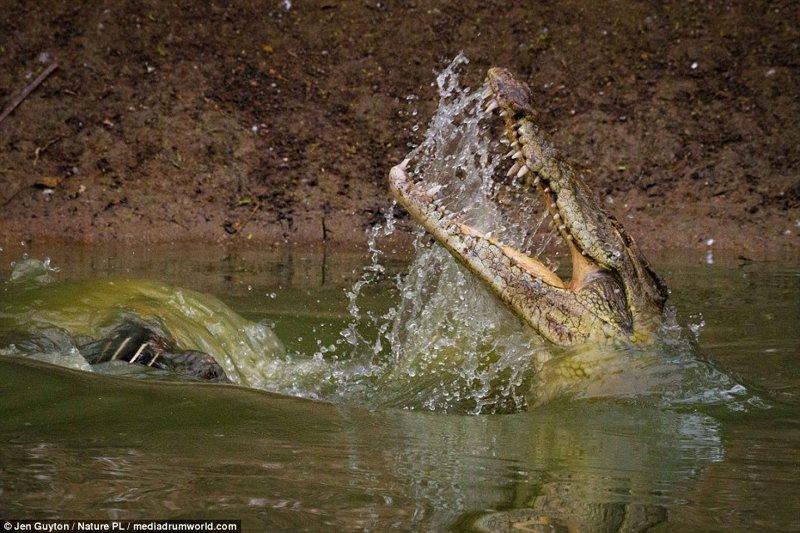 Смертельные челюсти: потрясающие фотографии крокодильей охоты африка, дикая природа, животные, крокодил, крокодилы, охота, хищник, хищники и жертвы