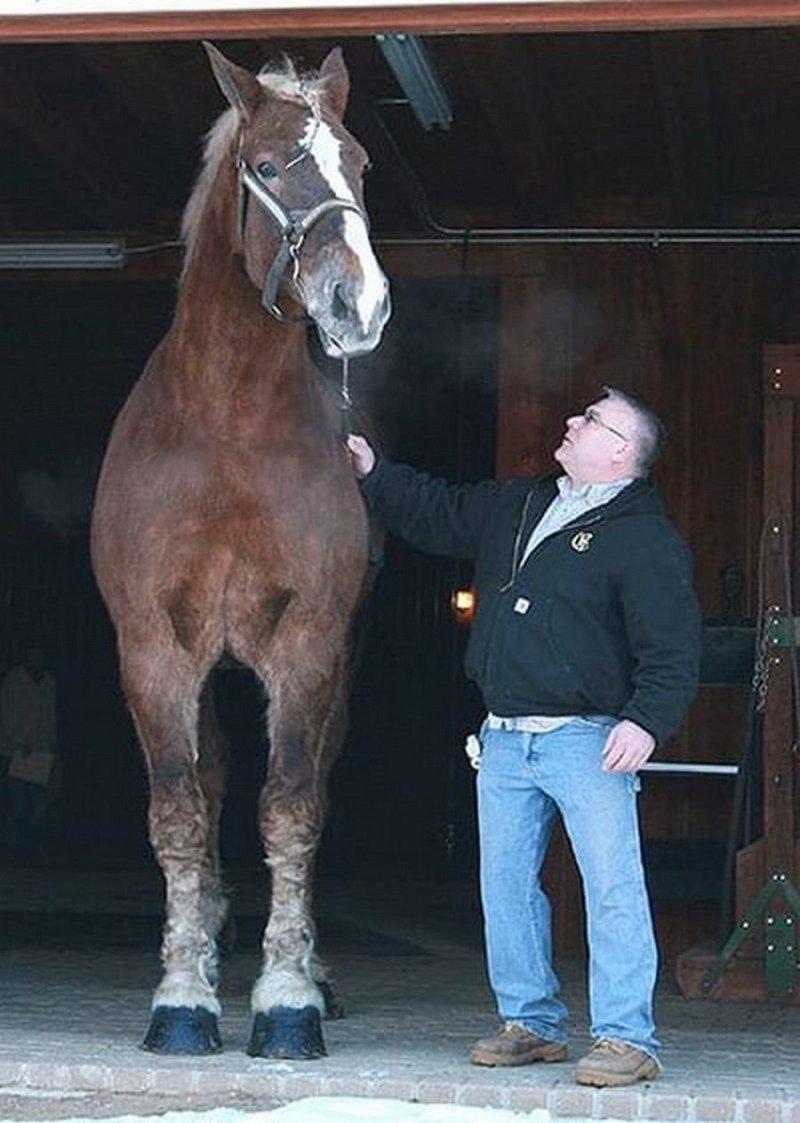 Кстати, не смотря на свои размеры Big Jake очень добрый и мягкий, прекрасно ладит с людьми, обожает людей. Часто вместе с хозяевами принимает участие в различные благотворительных мероприятиях, хотя больше всего обожает бездельничать. гигант, домашние животные, животные, конь, лошадь, рекорд, рекордсмен, рост