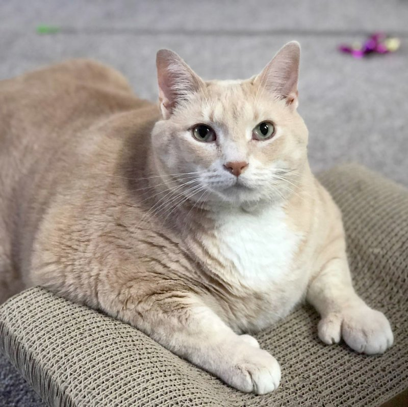 Знакомьтесь, это Бронсон, его лапы столь причудливы из-за полидактилии Catastrophicreations, Бронсон, диета, животные, история, кот, похудение, фото