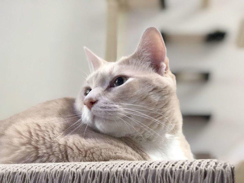 За успехами очаровательного пухляка можно следить на его страничке в Instagram Catastrophicreations, Бронсон, диета, животные, история, кот, похудение, фото