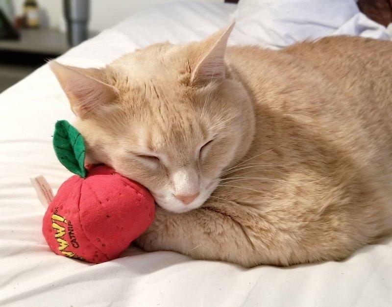 Его любимая игрушка - плюшевый помидор, наполненный кошачьей мятой Catastrophicreations, Бронсон, диета, животные, история, кот, похудение, фото