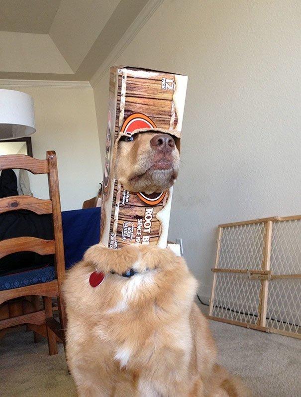 В шлеме глупость, животные, неудача, подборка, ситуация, смех, собака