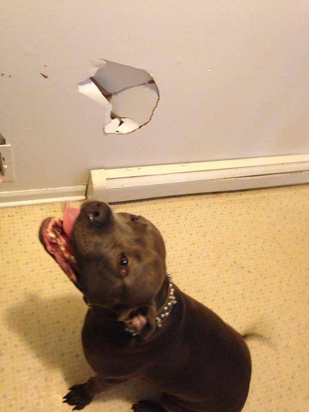 Врезался в стену глупость, животные, неудача, подборка, ситуация, смех, собака