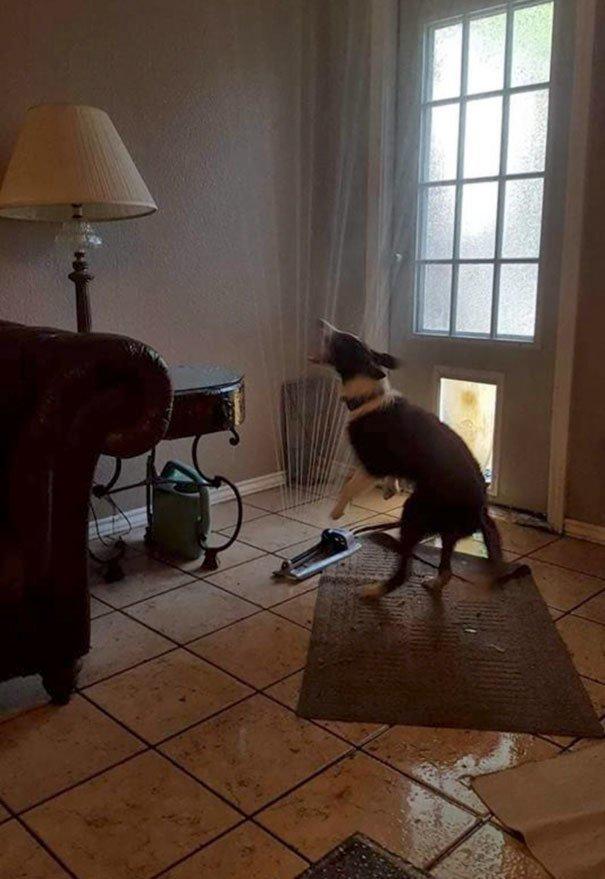 Втащил распрыскиватель в дом глупость, животные, неудача, подборка, ситуация, смех, собака