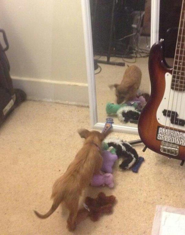 Поделилась игрушками с подругой в зеркале глупость, животные, неудача, подборка, ситуация, смех, собака