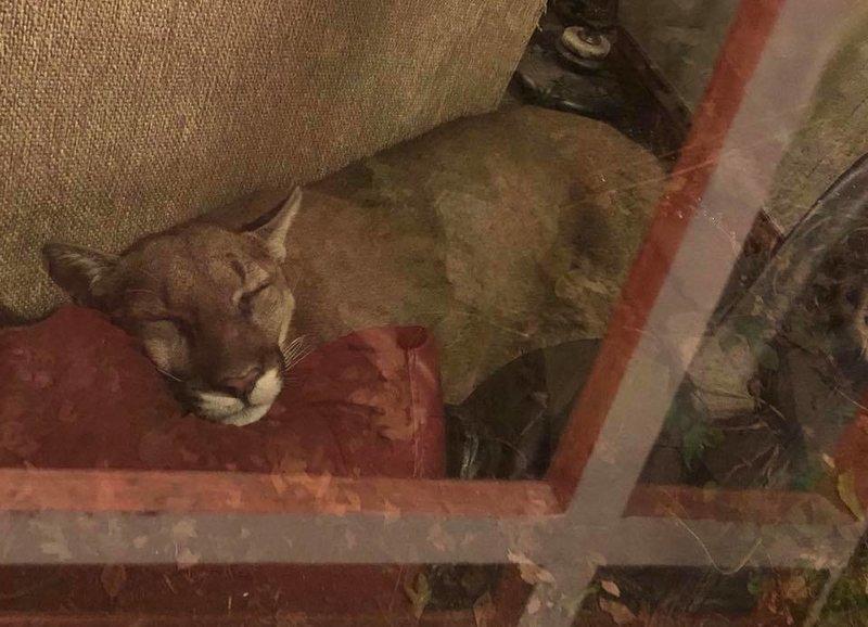Американка обнаружила в своей гостиной льва, и телепатически заставила его уйти в мире, видео, гости, животные, история, лев, люди