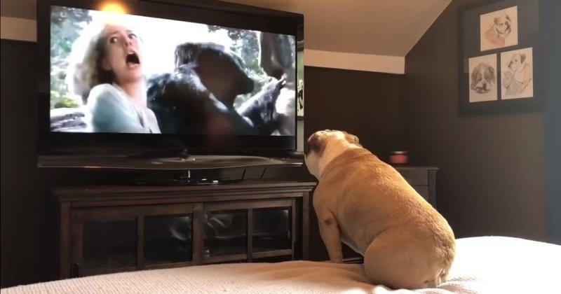 Бульдог смотрит фильм про Кинг-Конга и искренне переживает бульдог, видео, животные, прикол, собака, фильм, эмоции, юмор