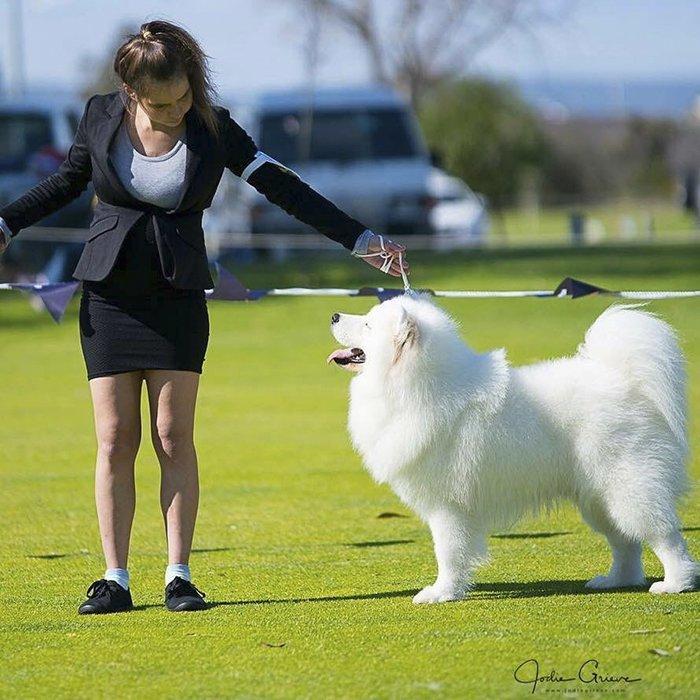 Сара Хегарти - грумер и хозяйка четырех самоедских собак Порода, грумер, животные, ребенок, самоедская собака, семья, фотография