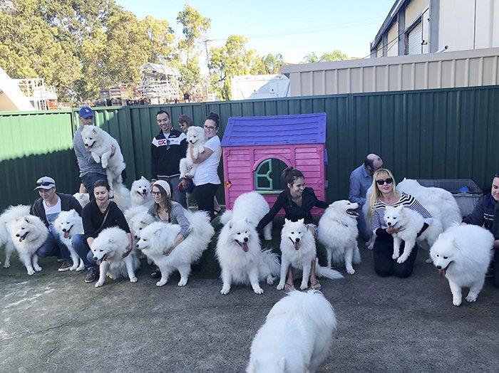 """Сара организовала клуб """"Самоеды Перта"""" для местных владельцев самоедов и их любимцев Порода, грумер, животные, ребенок, самоедская собака, семья, фотография"""