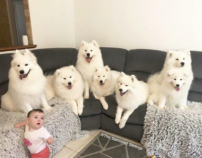 Несмотря на загруженный график, мама успевает радовать снимками 73 тыс. подписчиков в Instagram Порода, грумер, животные, ребенок, самоедская собака, семья, фотография