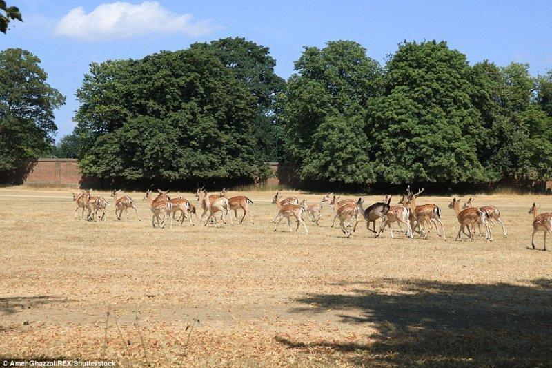 Парк Хэмптон-Корт, юго-запад Лондона англия, аномальная жара, аэрофотосъемка, великобритания, засуха, лондон, раньше и сейчас, сравнение