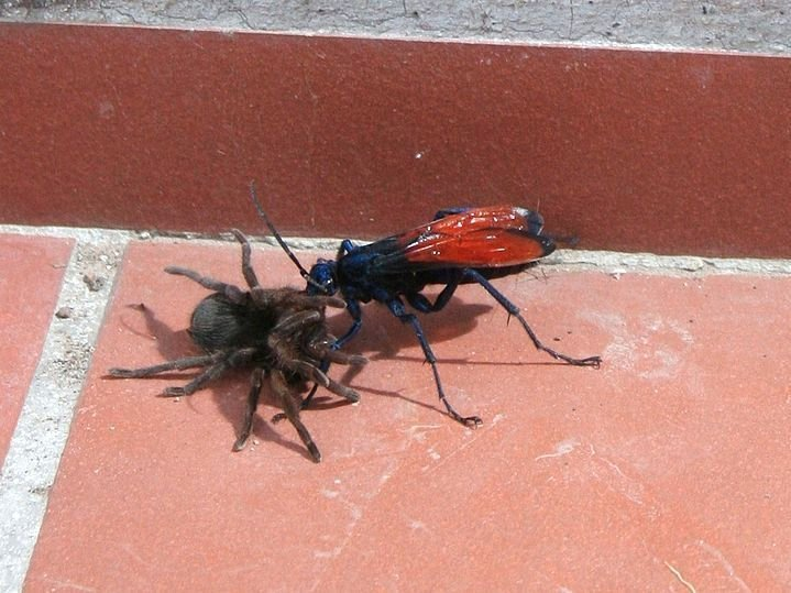 Оса — истребитель тарантулов боль, в мире, люди, насекомые, укус, энтомолог